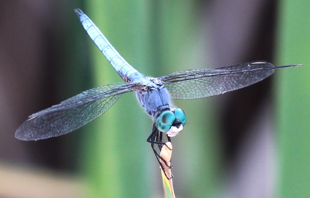 Blue Dragonfly Photo